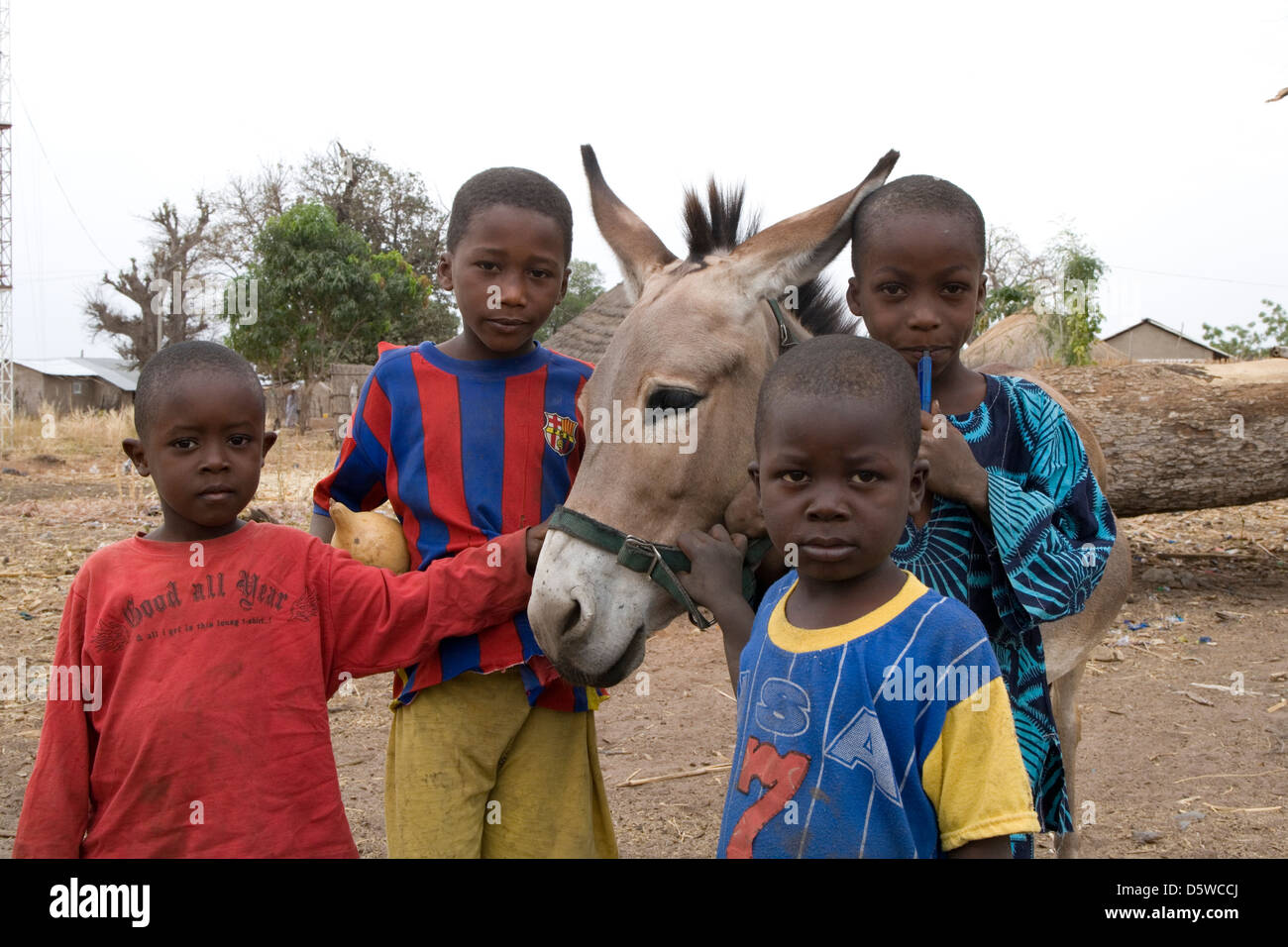 Gambia: veterinary work of 'Gambia Horse & Donkey Trust' - Stock Image