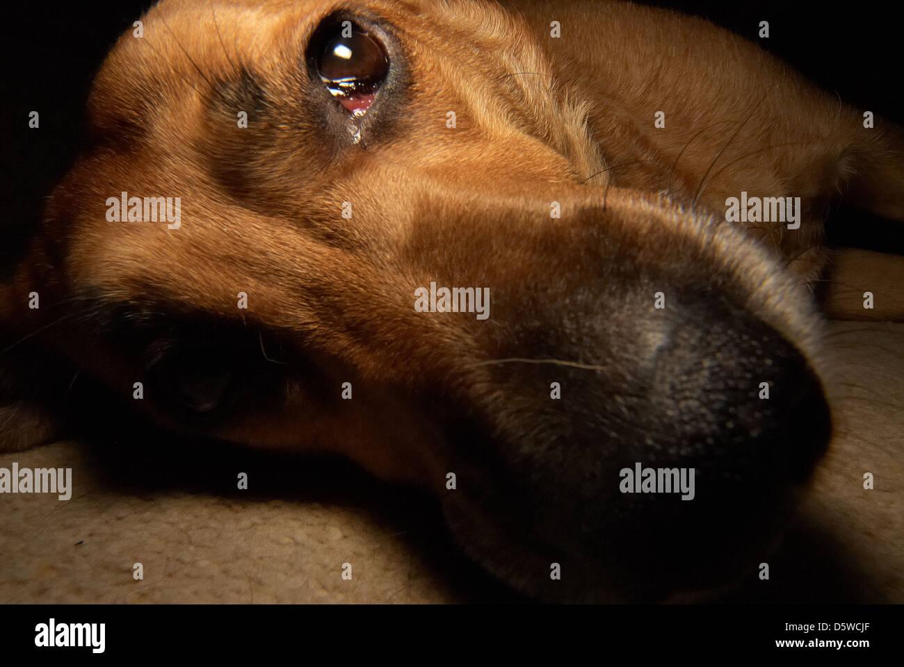 Photograph of a sad faced Labrador dog Stock Photo