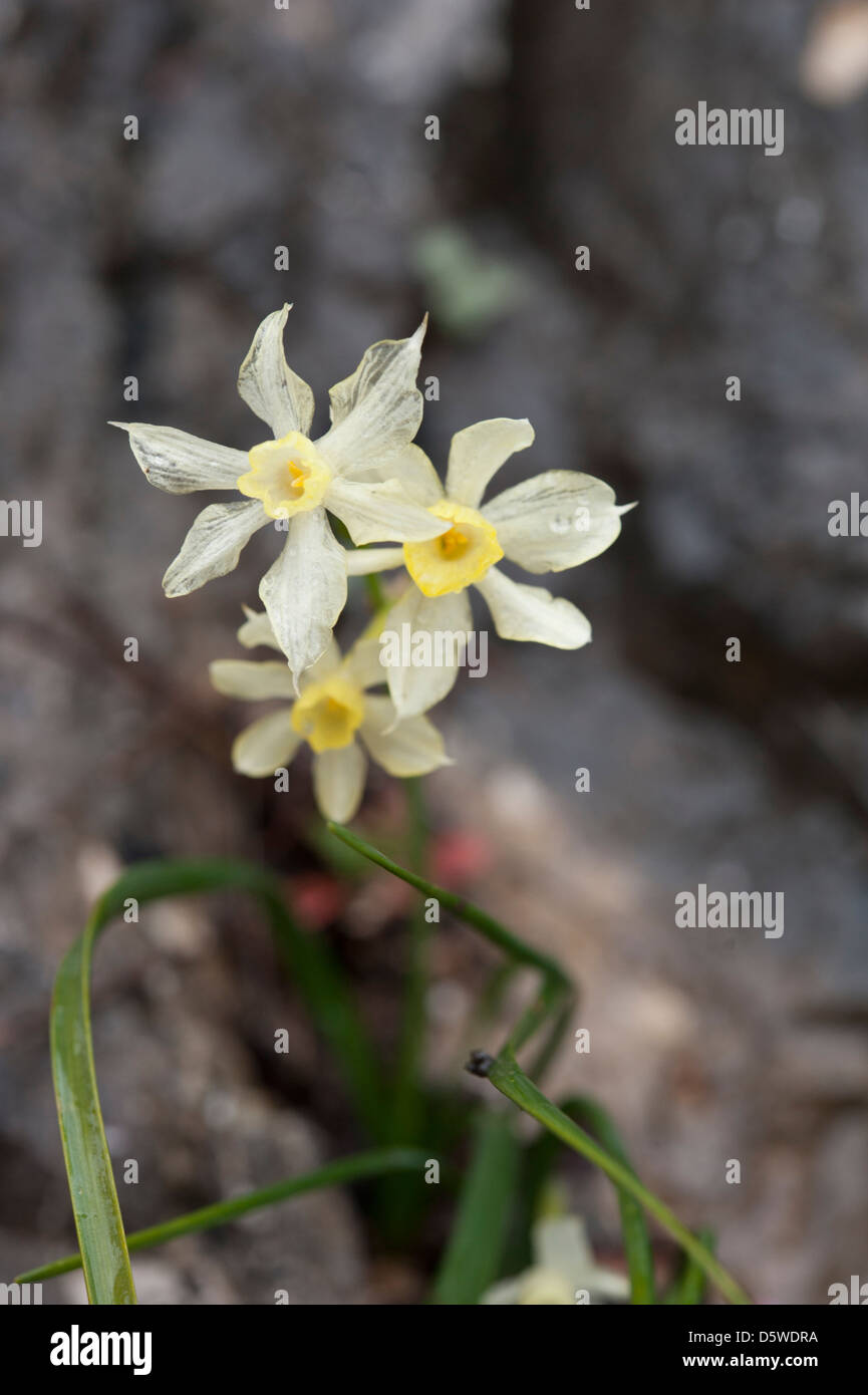 Narcissus x christopherii, growing on steep rocks in the sierras of Andalucia, Southern Spain. February. - Stock Image