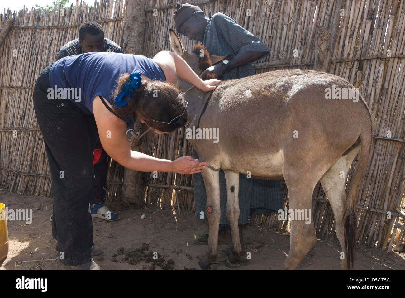 Gambia: veterinary work of the Gambia Horse & Donkey Trust - Stock Image
