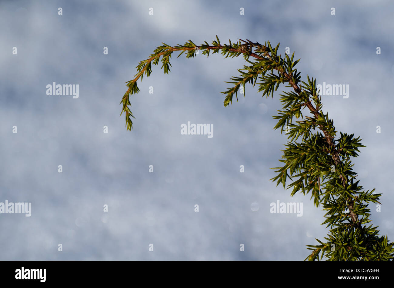 Fresh juniper twig at a blue and white background - Stock Image