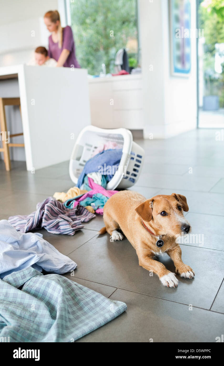 Dog sitting by spilled laundry basket - Stock Image