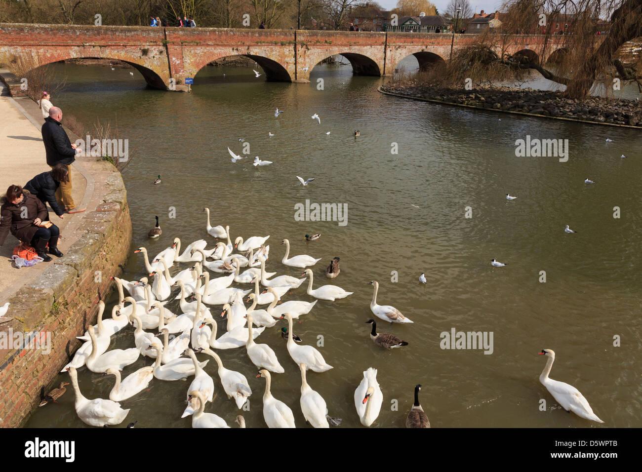 People feeding Swans on River Avon by Tramway bridge at Stratford-upon-Avon, Warwickshire, England, UK, Britain - Stock Image