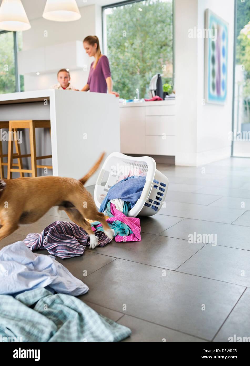 Dog making mess in kitchen - Stock Image