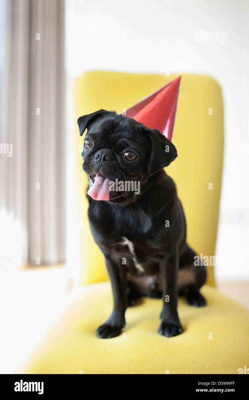Panting dog wearing party hat on chair - Stock Image