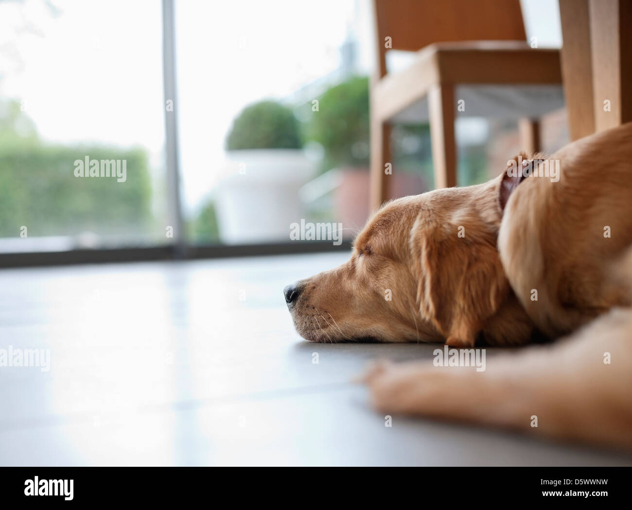 Dog laying on floor in living room - Stock Image