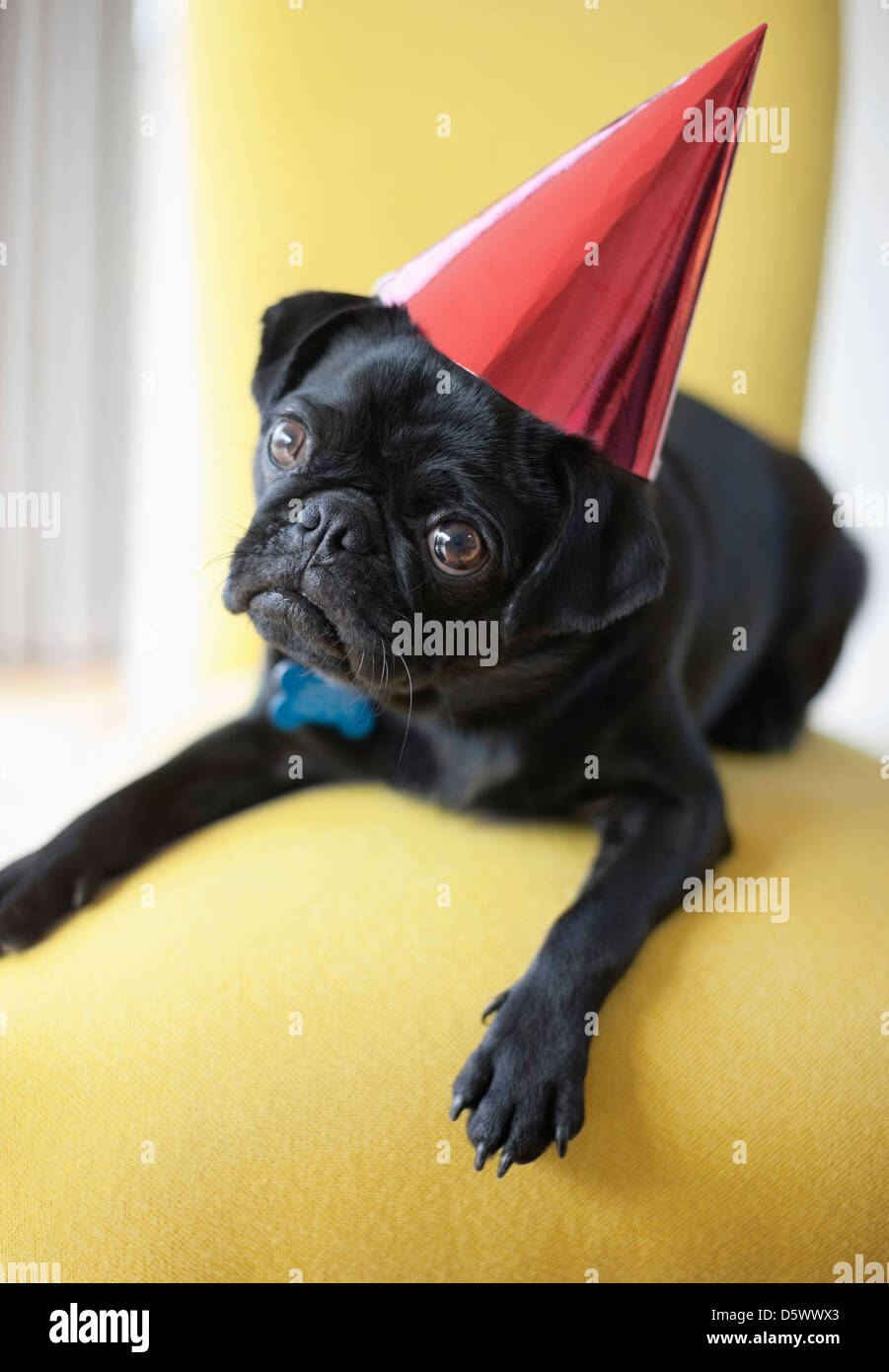Dog wearing party hat on chair - Stock Image