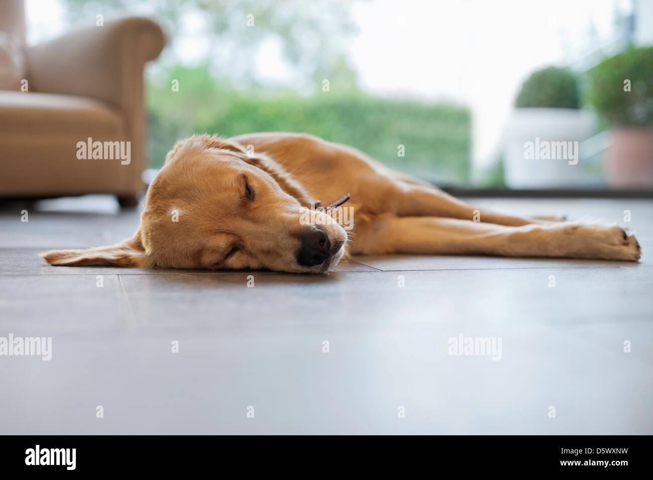 Dog sleeping on living room floor - Stock Image