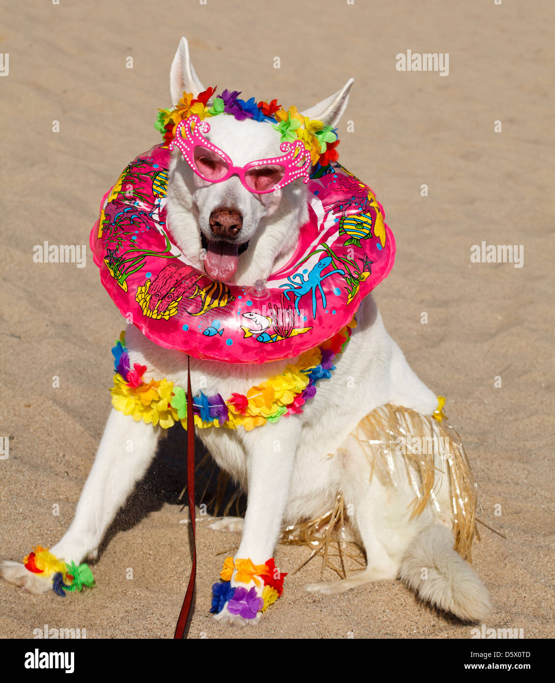 White German Shepherd in Hawaii-theme costume with leis, a swim ring, hula skirt and sunglasses Stock Photo
