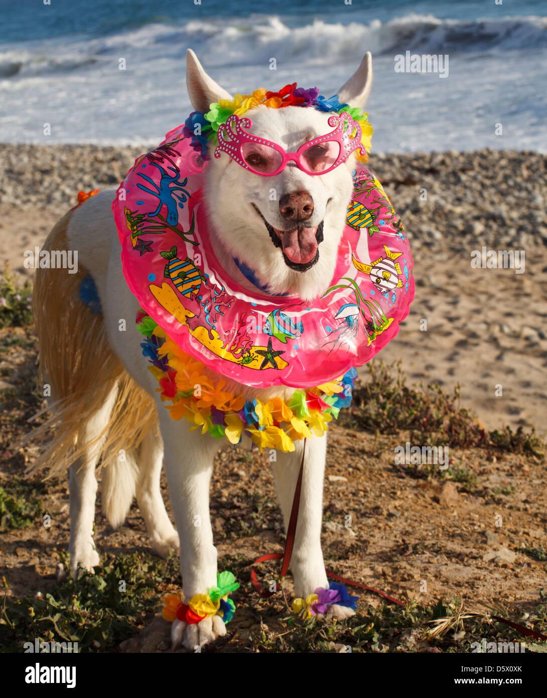 White German Shepherd wearing Hawaii-theme costume with leis, hula skirt and swim ring - Stock Image