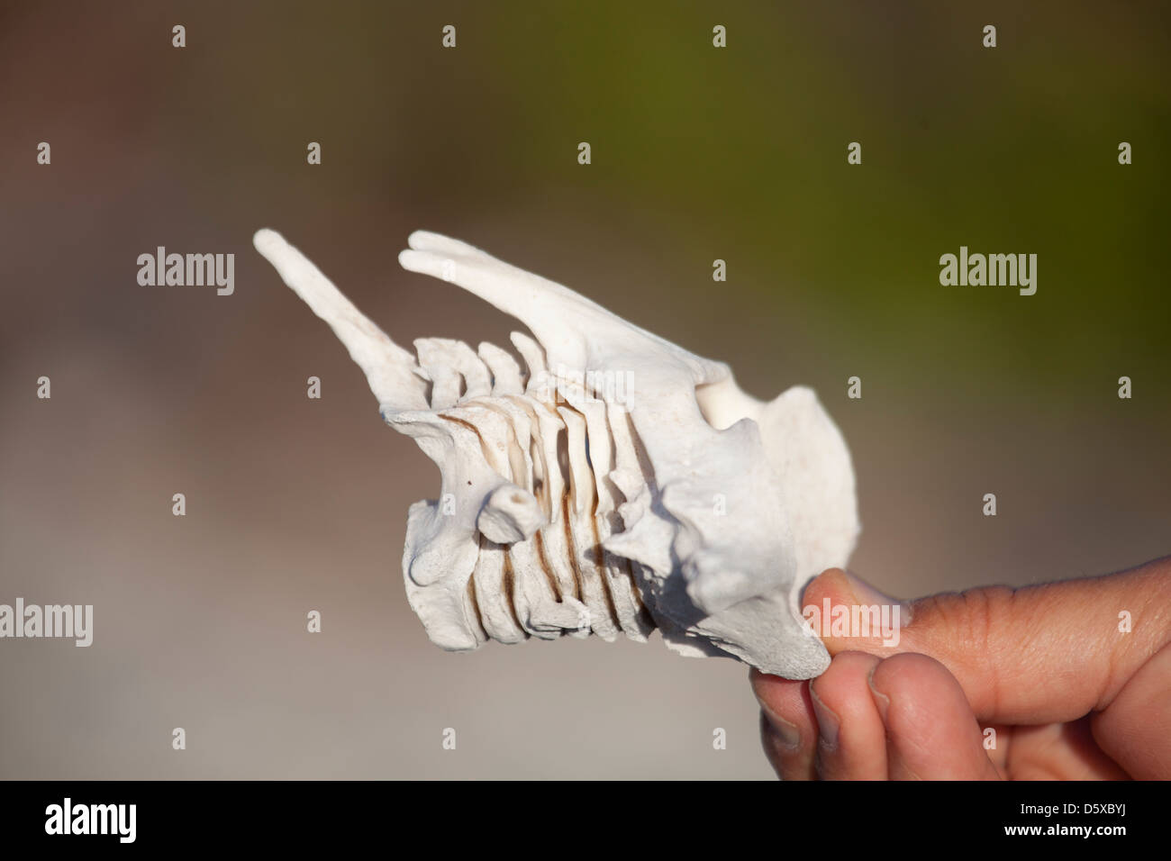 Seven intact dolphin neck vertebrae. - Stock Image