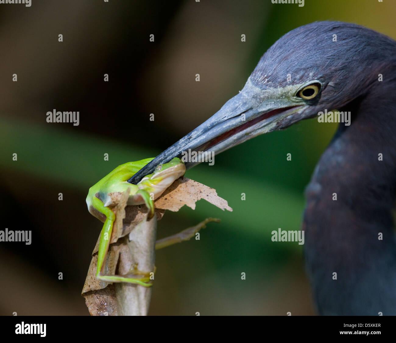 LITTLE BLUE HERON (Egretta caerulea) feeding on GREEN TREE FROG (Hyla cinerea),  Corkscrew Swamp Audubon Sanctuary, - Stock Image
