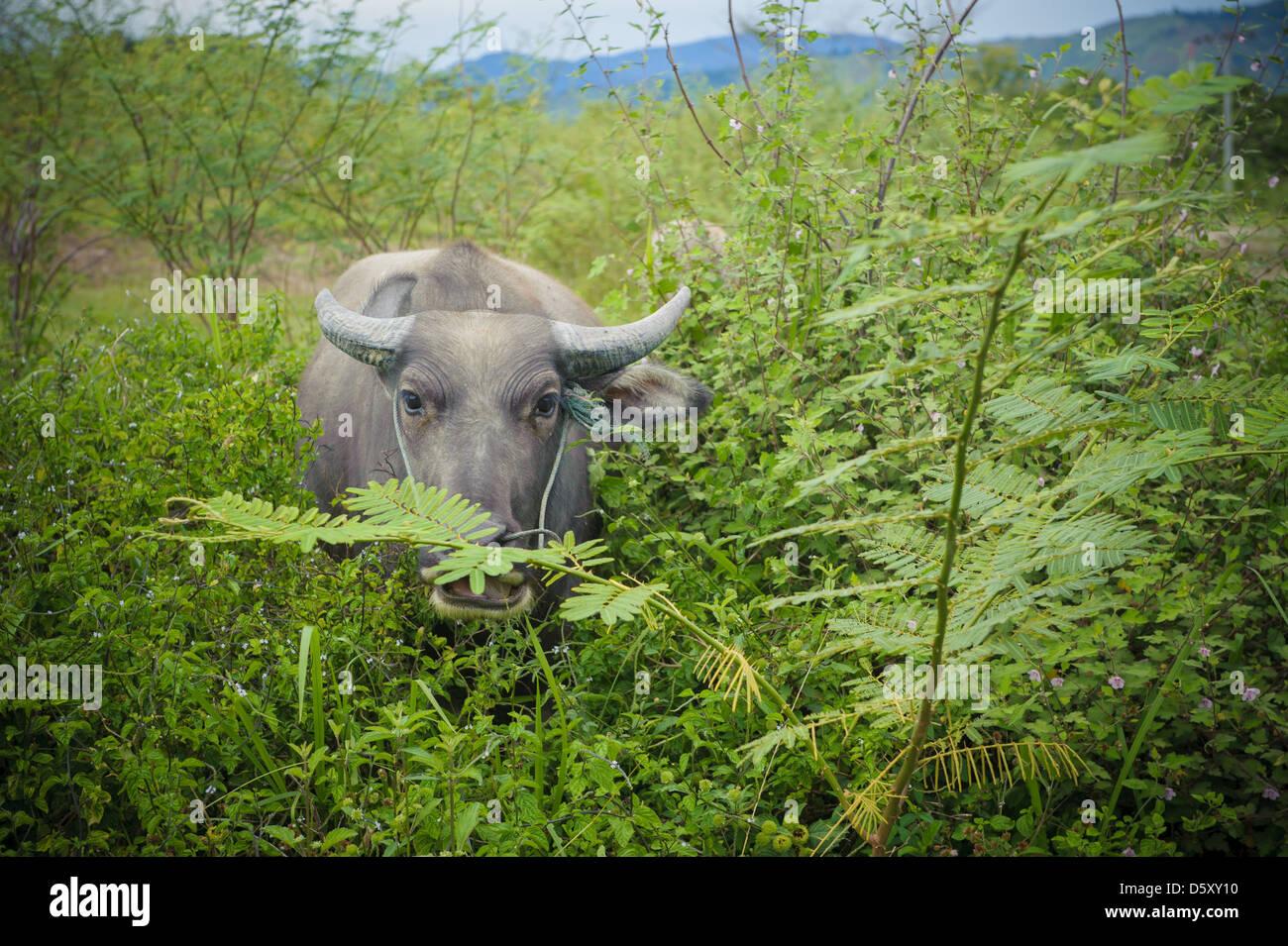 Buffalo, Sumatra, Indonesia - Stock Image