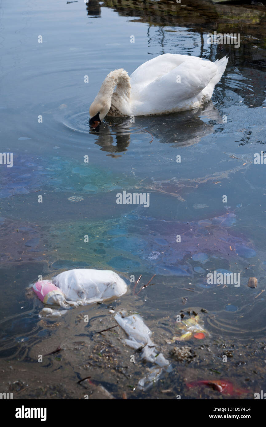 Swan feeding in polluted water which is full of litter and oil - Stock Image