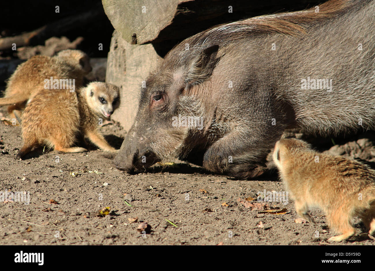 Warthogs undergo an experiment to test their ability to find truffels at Ouwehand Zoo in Rhenen, the Netherlands, - Stock Image