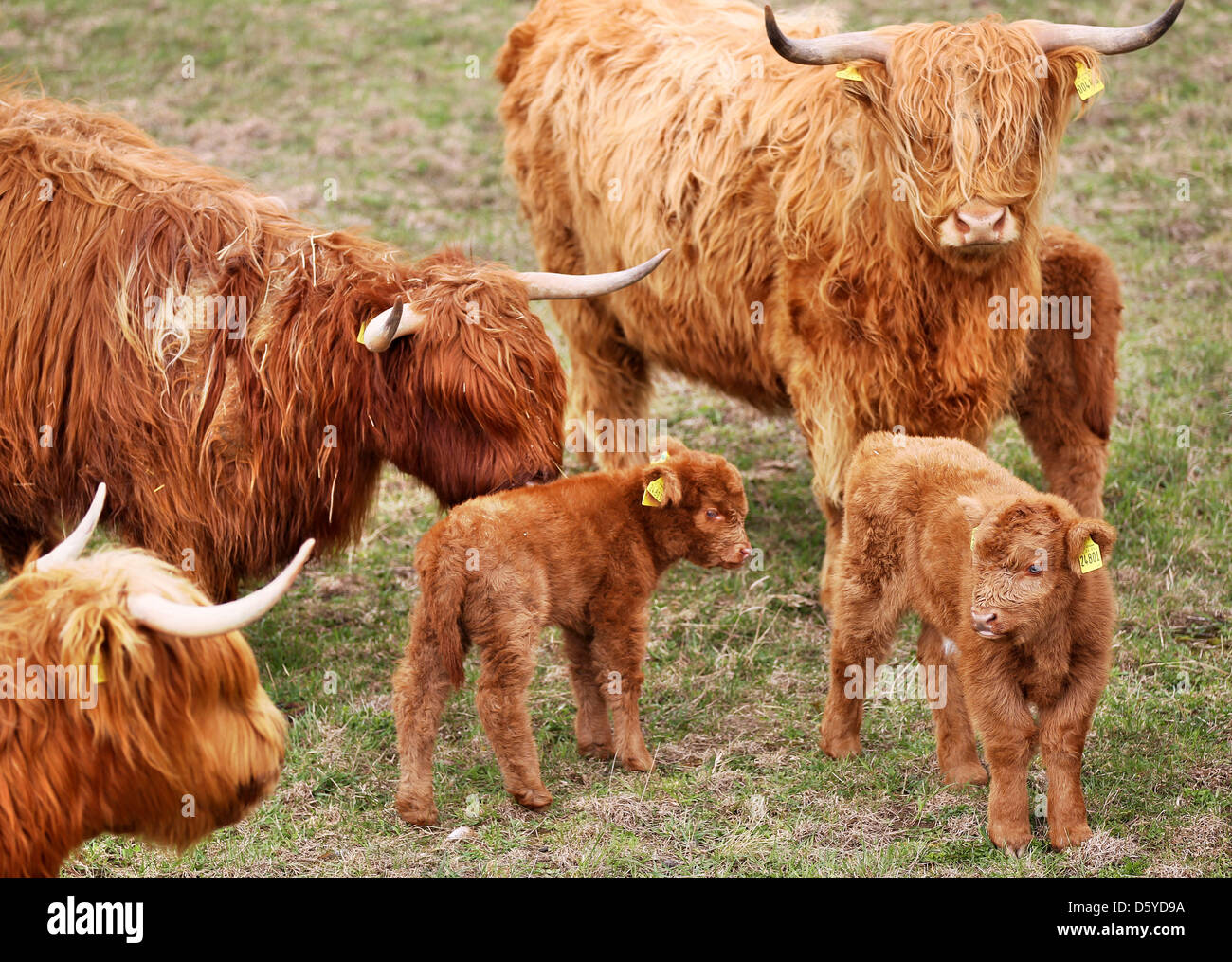 Scottish Highland Cattle and calfs stand on a pasture near Grossenhain, Germany, 04 April 2012. The robust yet good - Stock Image
