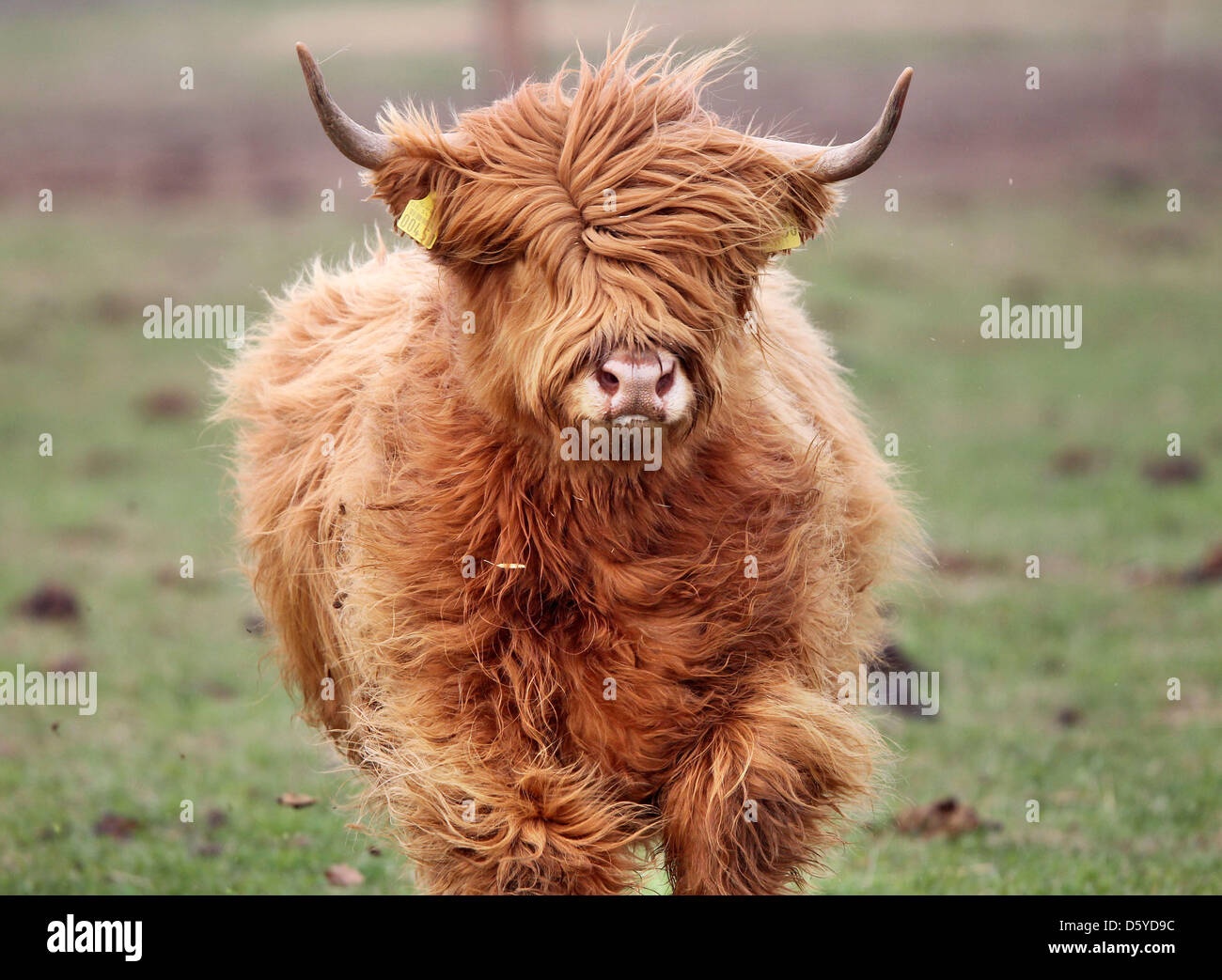 A Scottish Highland Cattle stands on a pasture near Grossenhain, Germany, 04 April 2012. The robust yet good-natured - Stock Image