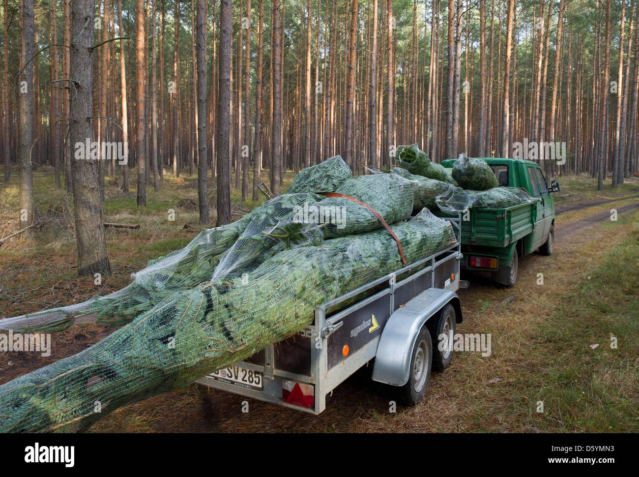 FILE - A file photo dated 10 December 2011 shows wrapped Christmas trees beeing transported in a forest of the August - Stock Image