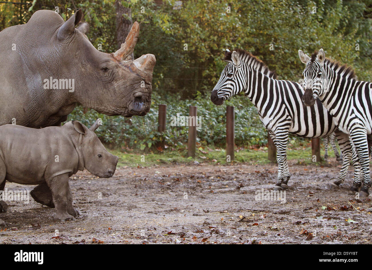 The white rhinoceros Vince of Burgers' Zoo in the Dutch city Arnhem and born in September, plunged his self Thuesday Stock Photo