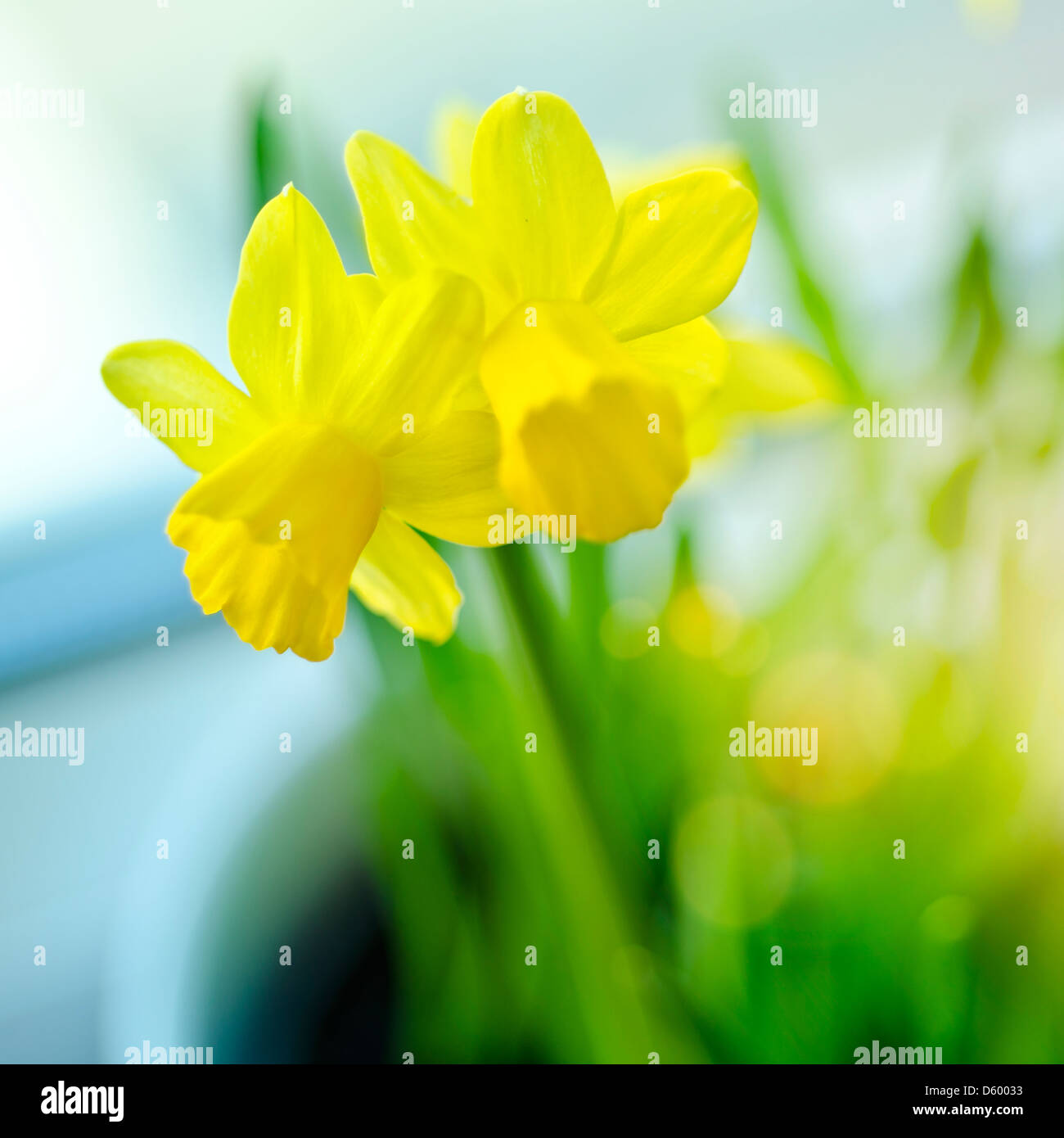 Spring Daffodils on a windowsill. - Stock Image