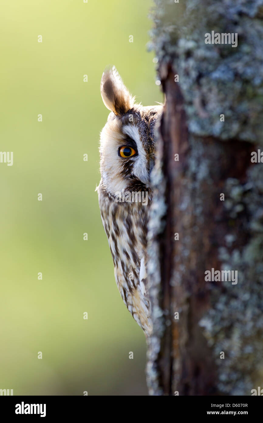 Long-eared Owl Asio otus (captive) peering round tree at Castle Caereinion, Wales, UK in April. - Stock Image