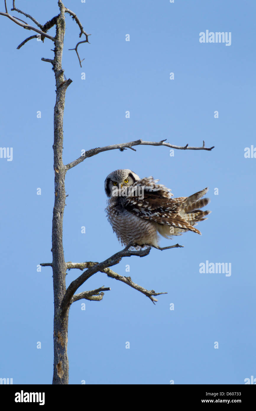 Northern Hawk Owl Surnia ulula perched in tree at Oulanka National Park, Kuusamo in April. - Stock Image