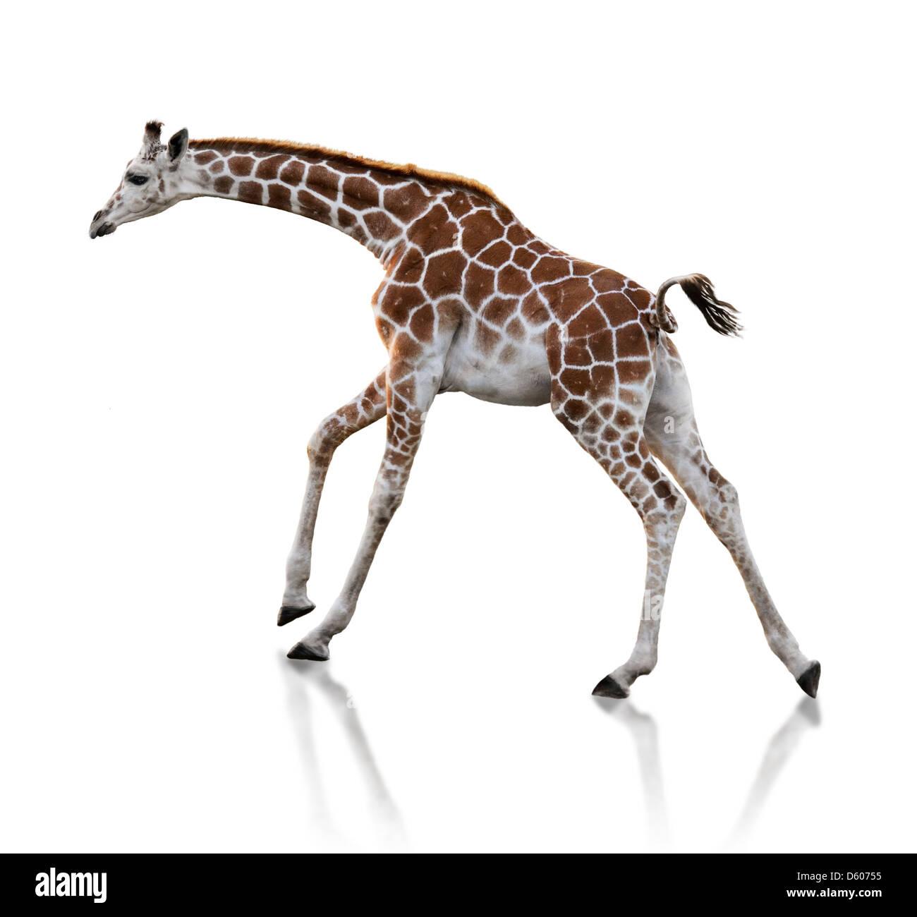 Young Giraffe Running On White Background - Stock Image
