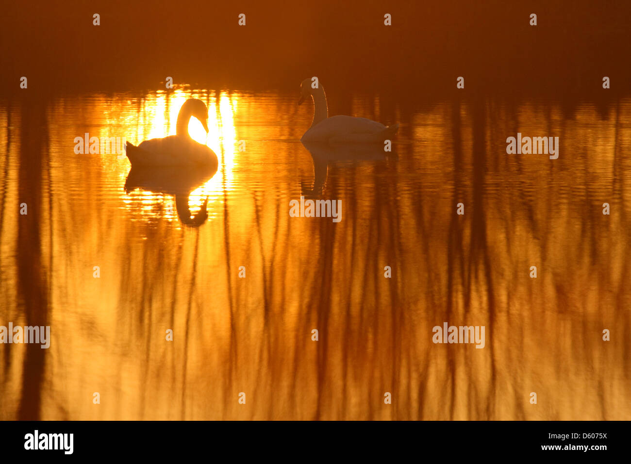Pair of Mute swanäs (Cygnus olor) at sunset, Europe Stock Photo