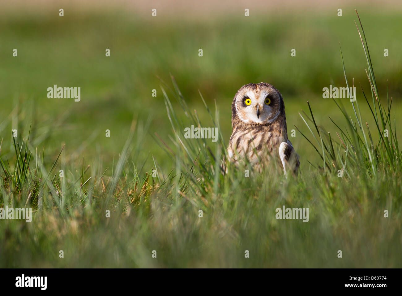 Short-eared Owl Asio flammeus (captive) perched in grass at Castle Caereinion, Wales in April. - Stock Image