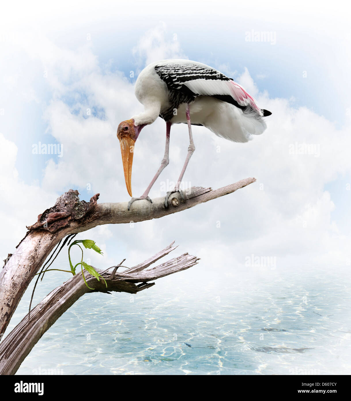 The Painted Stork (Mycteria leucocephala) Perching - Stock Image