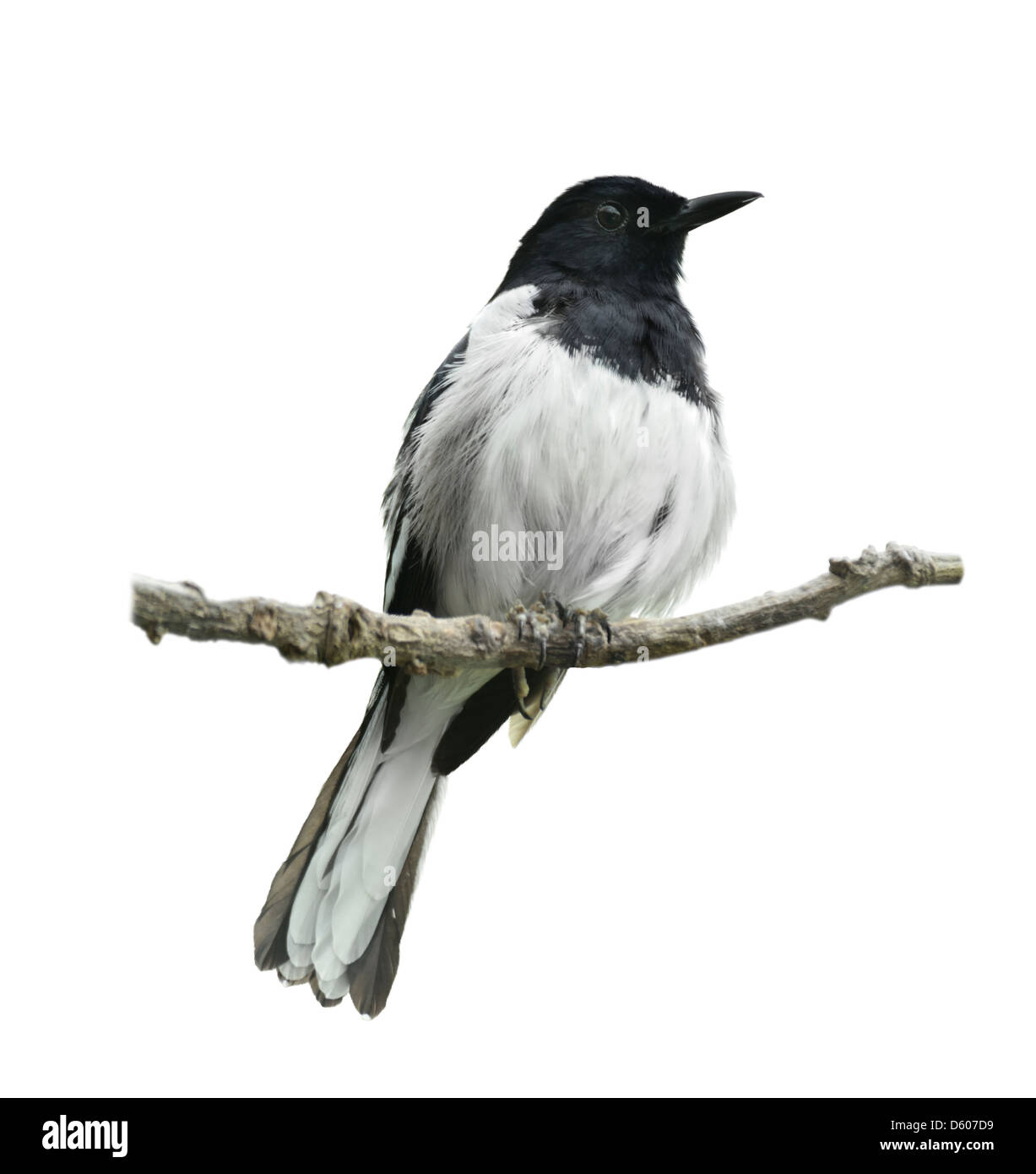 Oriental Magpie Robin On White Background - Stock Image