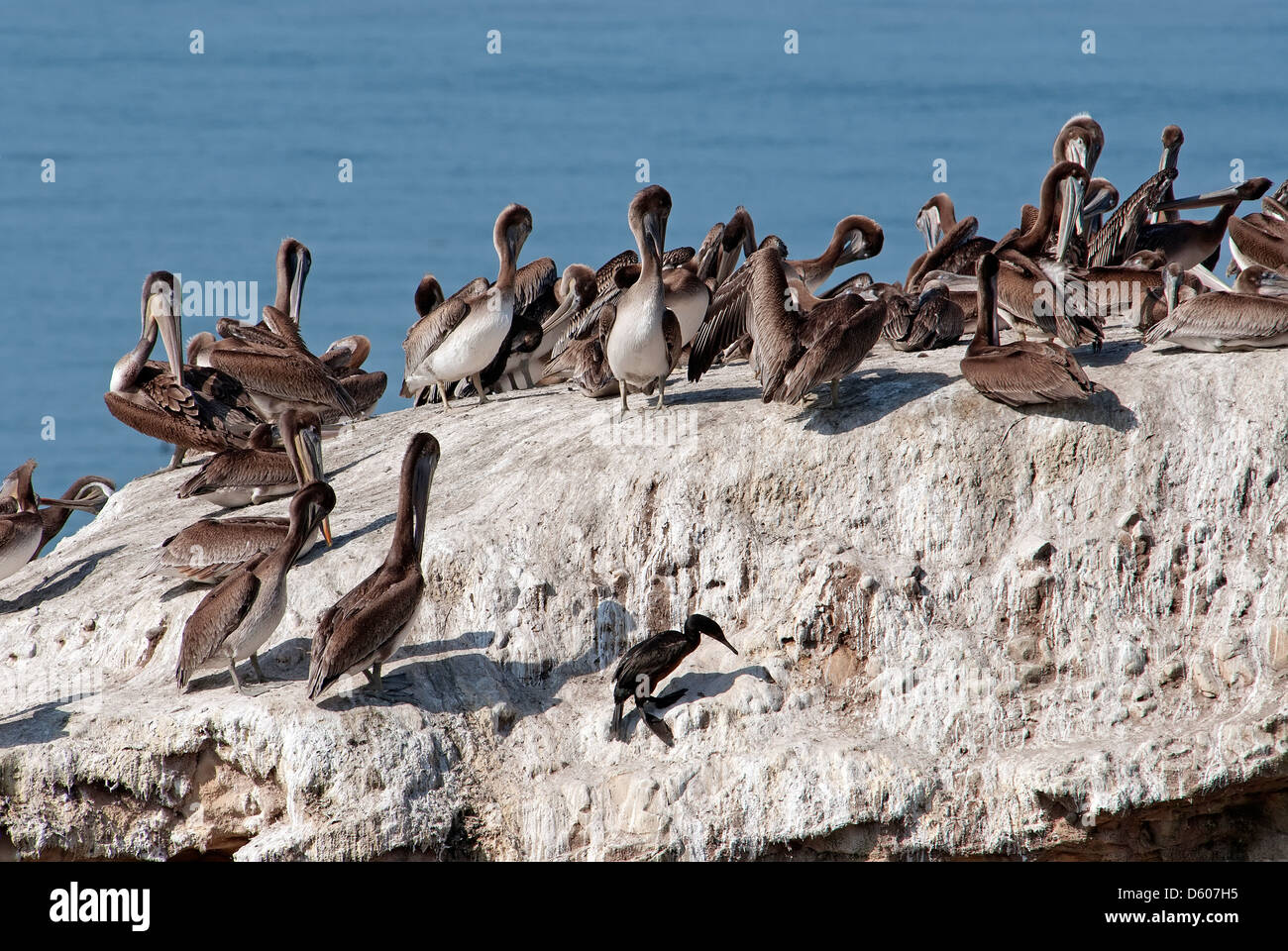 Brown pelican colony on a rock On the Pacific - Stock Image