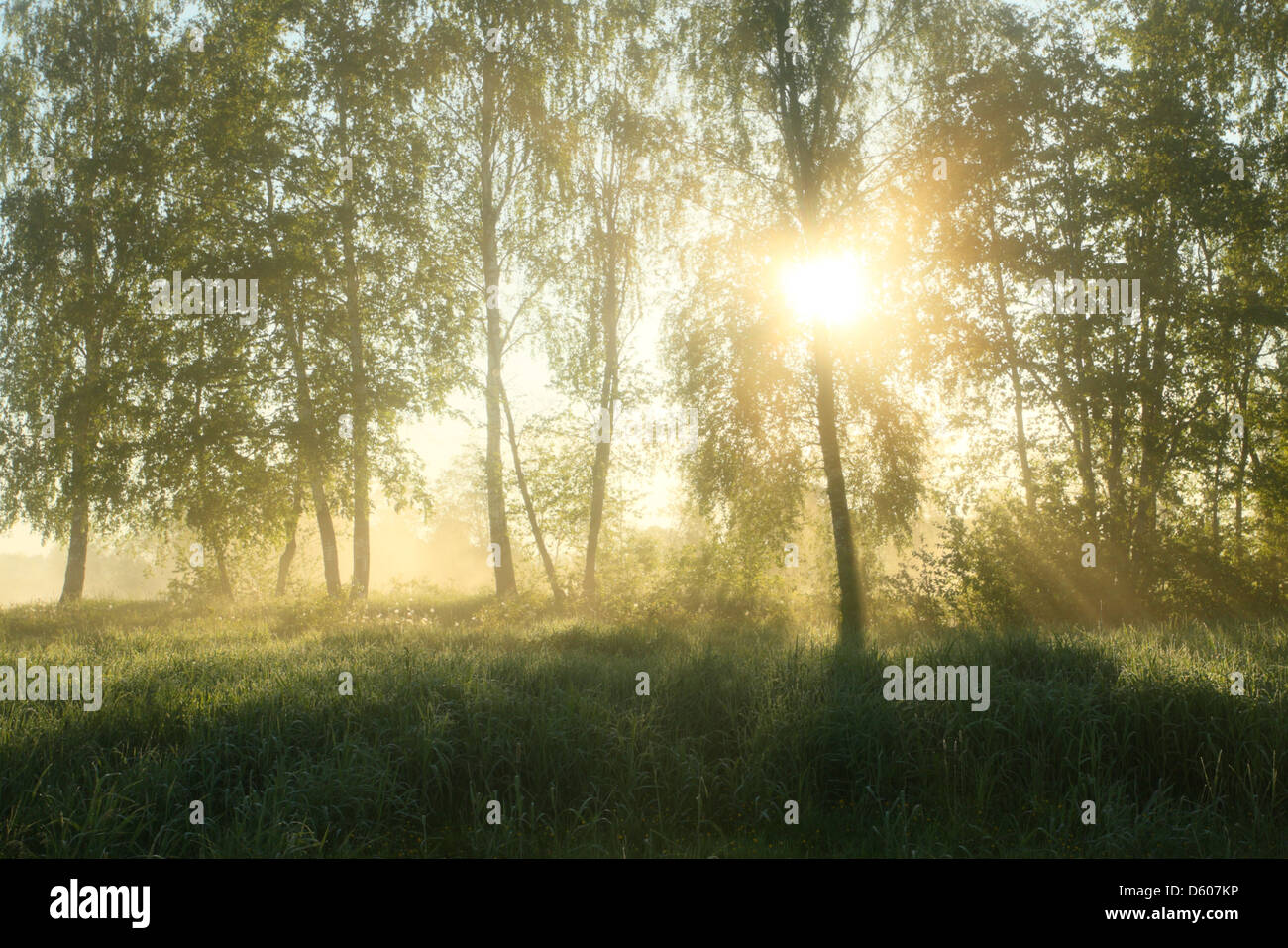 Sun is shining through the trees and fog in early morning. Europe - Stock Image