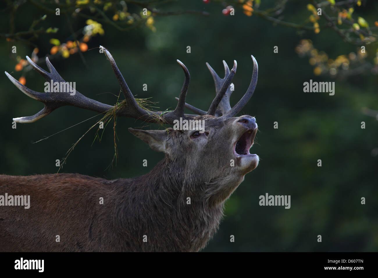 Roaring Red Deer (Cervus elaphus), Europe - Stock Image