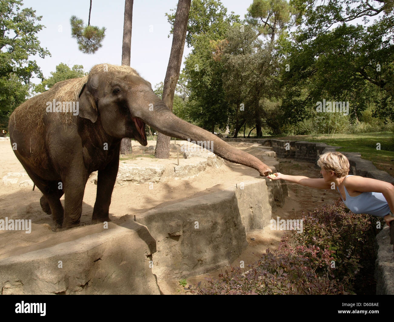 Woman feeding popcorn to an elephant in the La Palmyre zoo, Charente Maritime, France - Stock Image