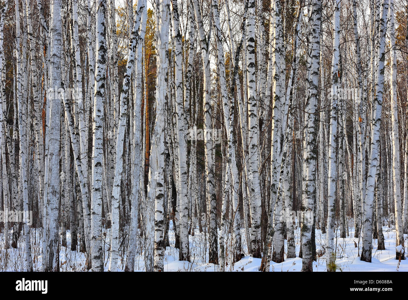 Winter wood with growing birches, pines, a bush. - Stock Image