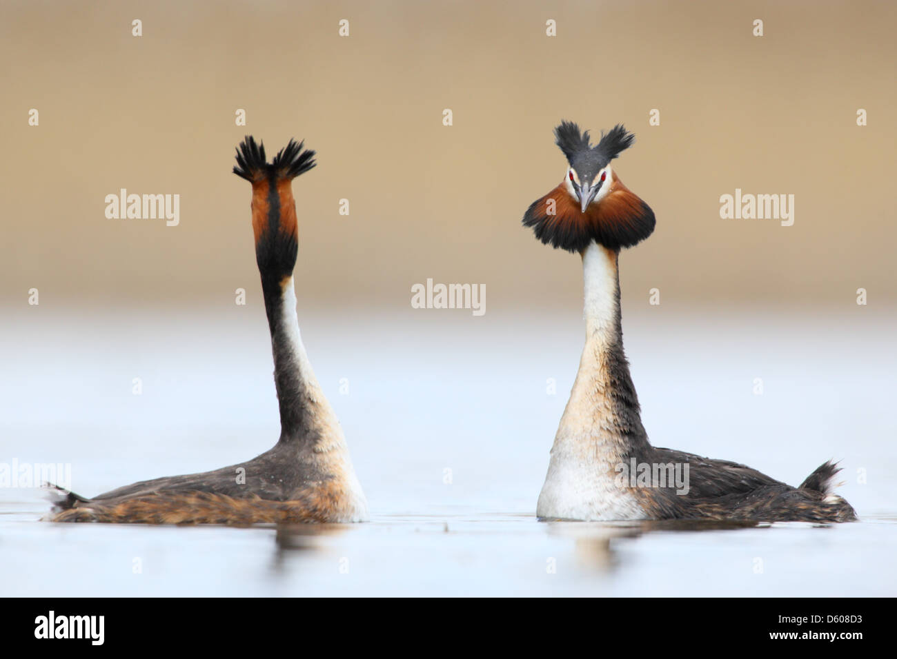 Great Crested Grebes (Podiceps cristatus)  in courtship display, shaking heads. Europe - Stock Image