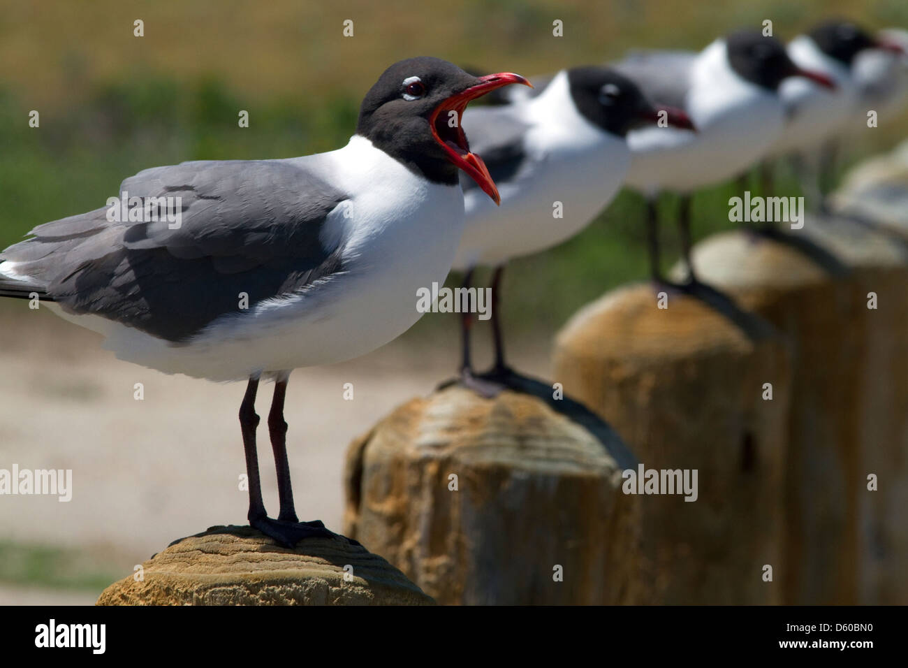 Laughing Gull at the bay of Corpus Christi, Texas, USA. - Stock Image