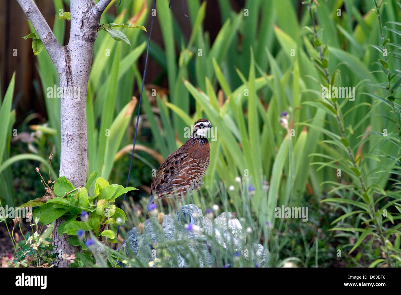 Adult male Northern Bobwhite quail in a residential backyard, Boise, Idaho, USA. - Stock Image