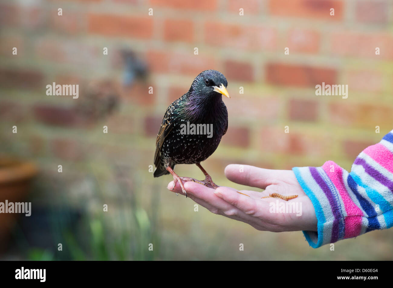 Sturnus vulgaris. Starling feeding on mealworms from a womans hand - Stock Image
