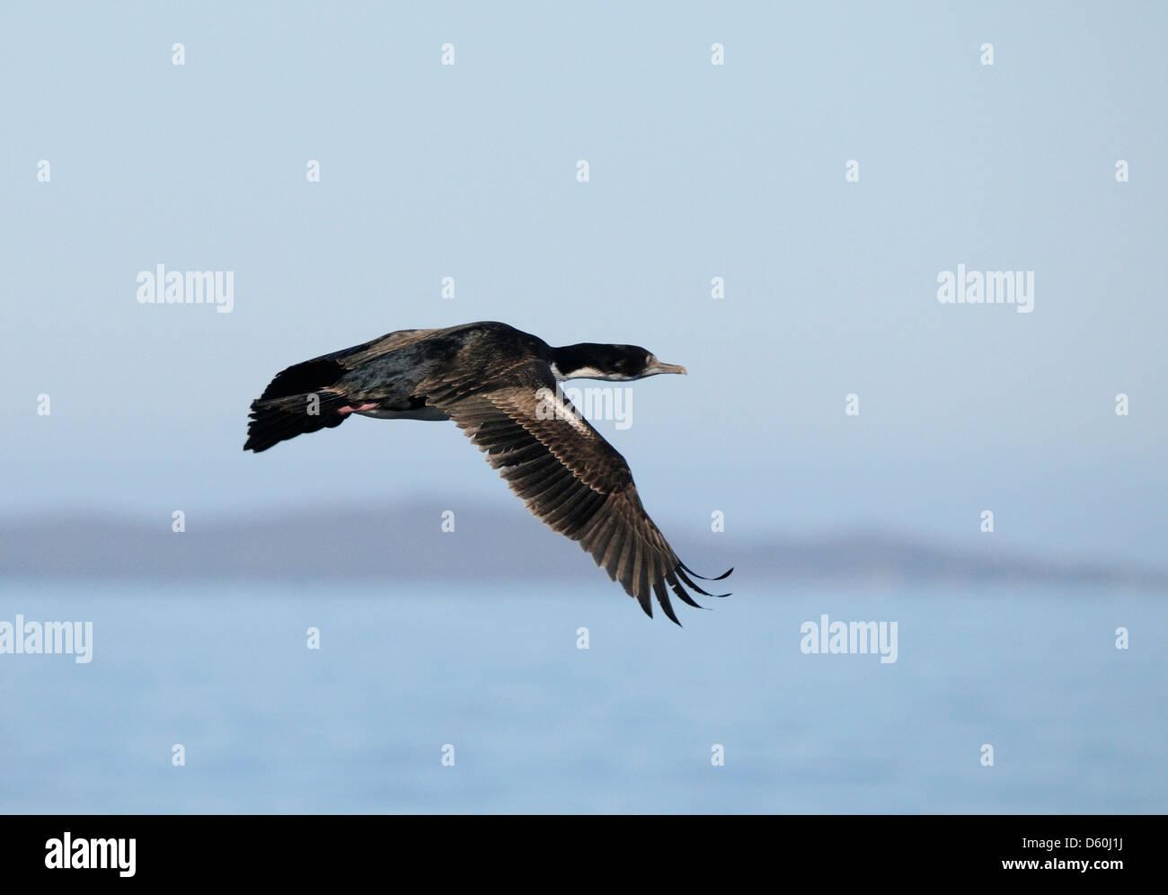 Imperial Shag (Phalacrocorax atriceps) in flight.  Cape Horn National Park. Cabo de Hornos, Isla Hornos. Republic - Stock Image