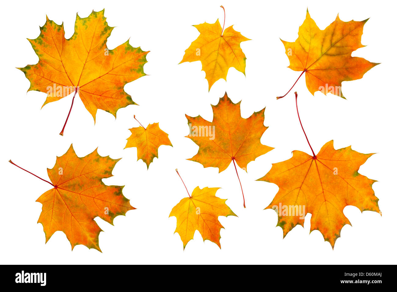 maple leaves isolated on a white - Stock Image