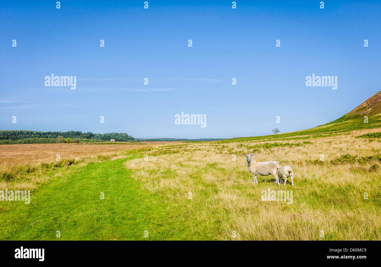 Sheep graze on open moorland near the village of Levisham in the heart of the North York Moors National Park in - Stock Image