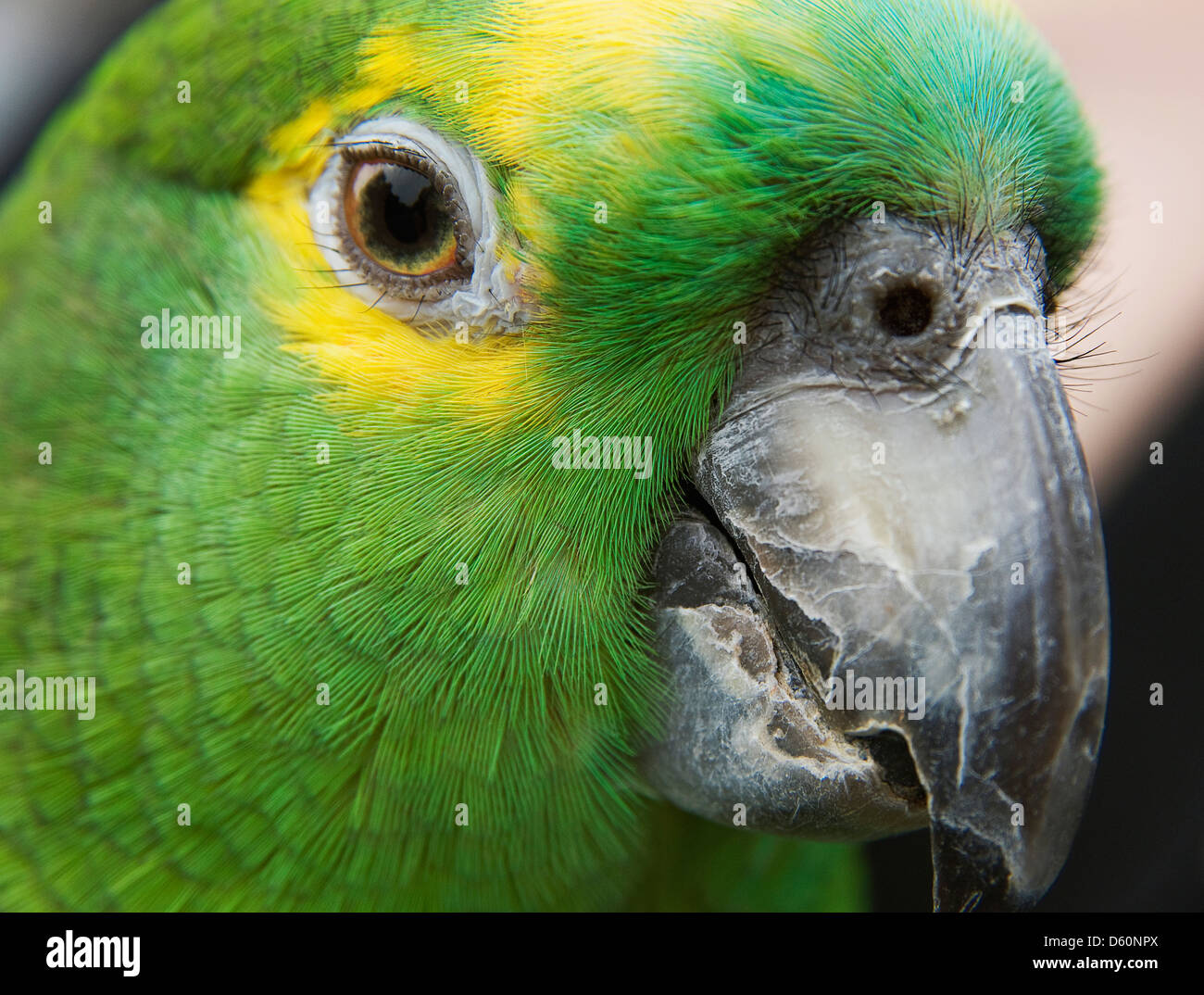 A portrait of a blue fronted fronted amazon parrot. Stock Photo