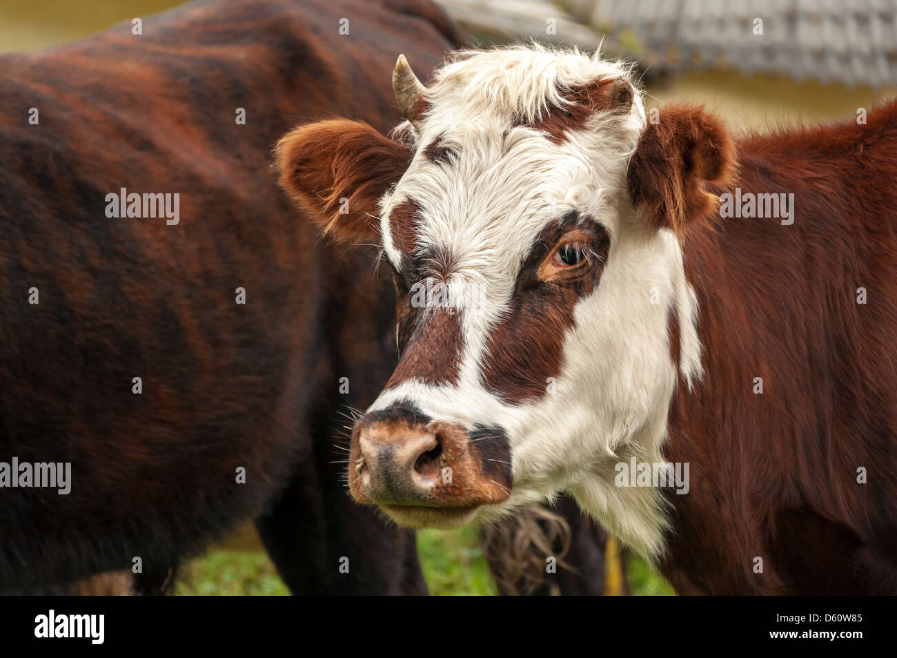 Closeup view of the face of a redish and white cow - Stock Image
