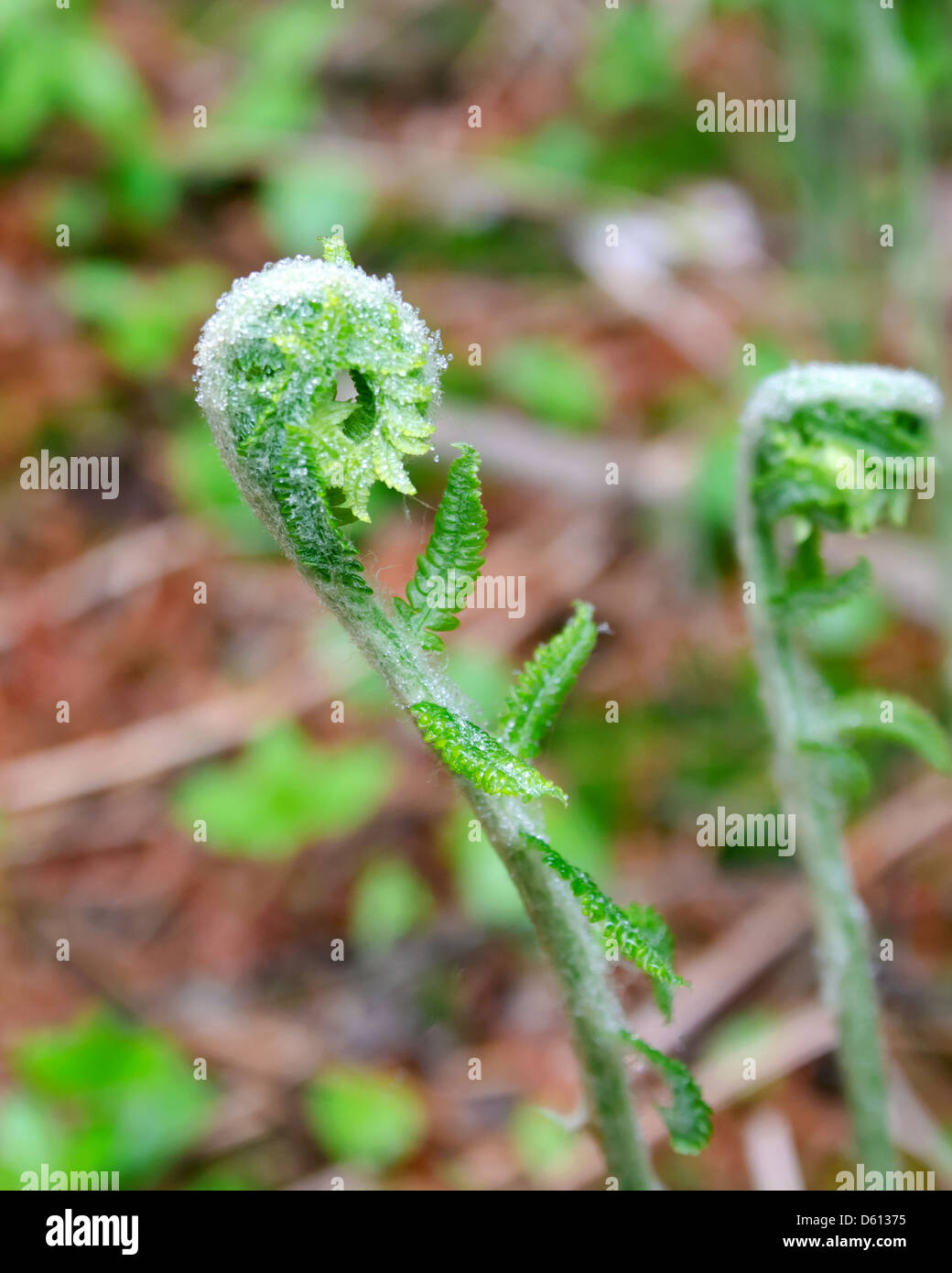 A fern unfurling in Acadia National Park, Maine Stock Photo