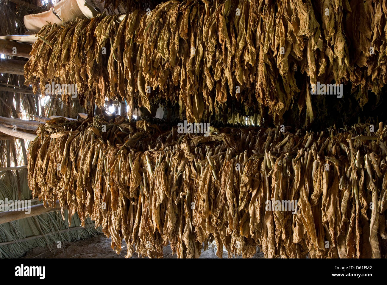 Cordillera de Guaniguanico: tobacco leaves drying in shed - Stock Image