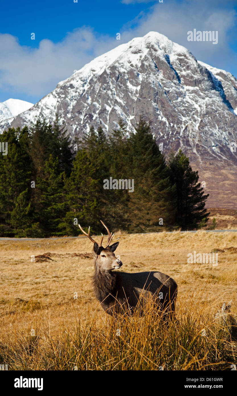 Young Red Deer Stag, Scottish Highlands - Stock Image