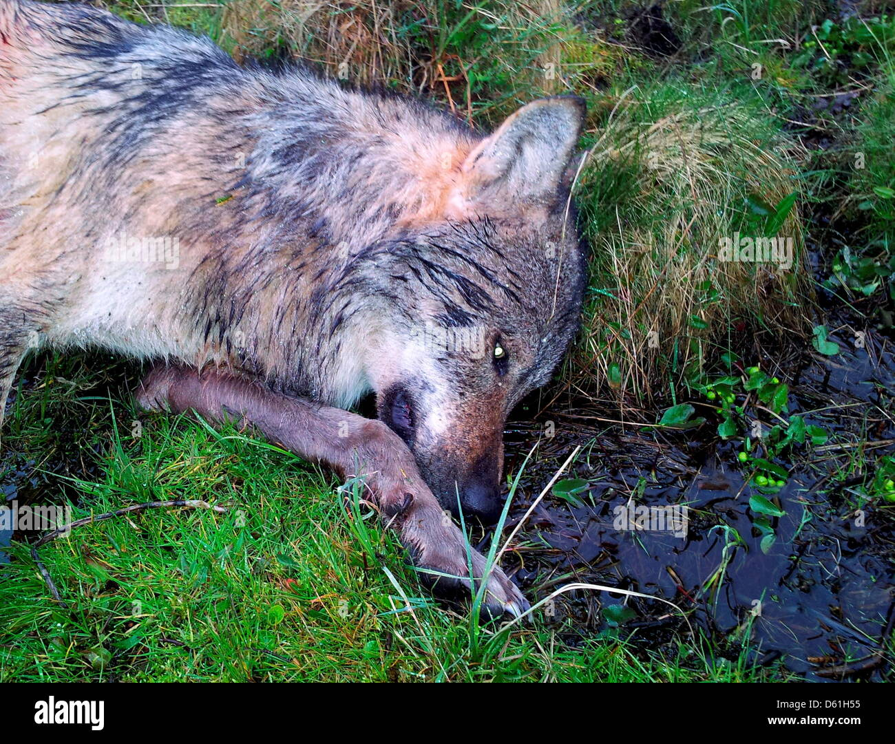 After 120 years, the first wolf has been sighted and shot in the Westerwald forest near Gensingen, Germany, 21April - Stock Image