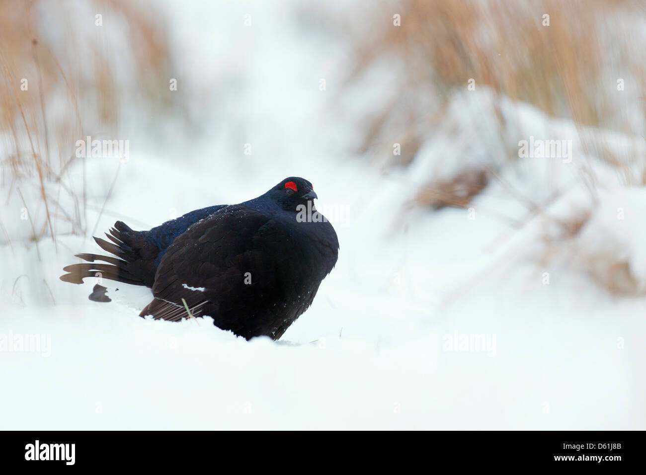 Black Grouse; Tetrao tetrix; male; snow; Scotland; UK - Stock Image